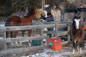 Horses receive a bale of hay at the Whitemud Equine Centre on Wednesday, March 1, 2017. A new riding arena is under construction at the centre.