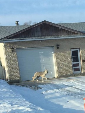 On March 3, 2017, a West St. Paul resident near Winnipeg snapped a photo, which was sent to Manitoba Conservation. They confirmed that it was indeed a young wolf, which appeared to be in poor health. Twitter/@DougLunney