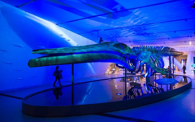 "A woman walks behind a blue whale skeleton on display at the unveiling of ""Out of the Depths: The Blue Whale Story"" at the Royal Ontario Museum in Toronto on Wednesday, March 8, 2017. (THE CANADIAN PRESS/Frank Gunn)"