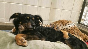 In this photo provided by the Cincinnati Zoo & Botanical Garden, a female Malayan tiger cub peeks out from between an Australian shepherd named Blakely and a large stuffed animal resembling a tiger on Thursday, March 9, 2017, in the zoo's nursery in Cincinnati. The mother's maternal instincts didn't kick in after three Malayan tiger cubs were born Feb. 3, 2017, and the 6-year-old male dog provides snuggling, warmth and a climbable body. (Dawn Strasser/Cincinnati Zoo & Botanical Garden via AP)