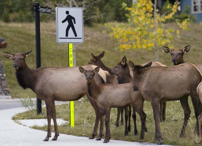 A cow elk and some calves appear to be patiently waiting for a break in traffic so they can safely cross at a crosswalk on the Three Sisters Parkway in Canmore, Alta. in August 2016. (Postmedia Archives)