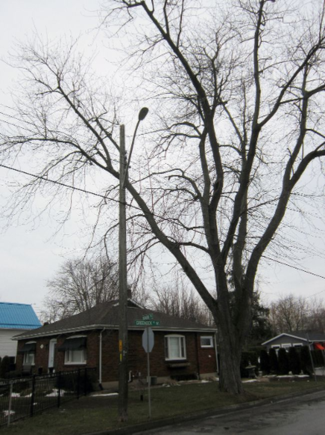 This silver maple at the intersection of Main Street and Greenock Street West is slated for removal as part of Phase III of the Main Street rebuild in Port Dover. Norfolk council is expected to award the contract for this phase of the rebuild at its meeting Tuesday night (March 21, 2017). MONTE SONNENBERG / SIMCOE REFORMER