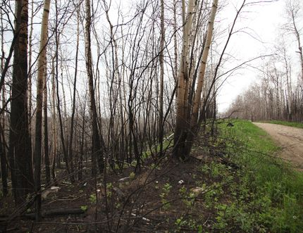 The charred remains of the forest surrounding the community of Abasand, snaking down into the neighbouring trail system, in Fort McMurray Alta. June 8, 2016. Olivia Condon/ Fort McMurray Today/ Postmedia Network