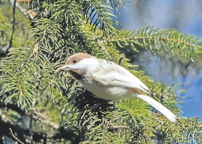 Occasionally a birder will find a common bird that is a curiosity. This partially leucistic black-capped chickadee was recently seen along the Thames River at London?s Cavendish Woods. Its faded plumage and brown cap give it the appearance of a boreal chickadee. (MICH MacDOUGALL/Special to Postmedia News)