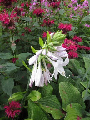 The original Bee Balm is a native plant but there are many hybrids that have been introduced since the Europeans first set foot on Canadian soil.