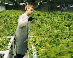 Cam Battley, Executive Vice President with Aurora Cannabis Inc., examines marijuana plants in one of the ten grow rooms inside the company's 55,000 square medical marijuana production facility near Cremona, Alberta on Wednesday July 27, 2016. Gavin Young/Postmedia