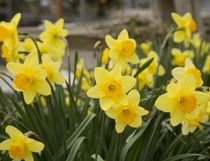 Yellow daffodils bring good cheer every spring. (MIKE HENSEN, The London Free Press)