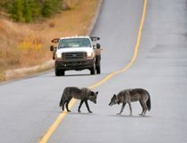 Two wolves on the Bow Valley Parkway in Banff National Park in 2011. (Dan Rafla/Parks Canada)