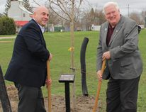 Bruce County received sugar maple trees in 14 different locations to celebrate the 150th anniversary. Communities included Chesley, Walkerton, Ripley, Tiverton, Lions Head, Teeswater, Hepworth and Saugeen Shores. Bruce County warden and Huron-Kinloss mayor Mitch Twolan and deputy mayor Wilf Gamble participated in Tree Planting in Ripley. (Ryan Berry/ Kincardine News and Lucknow Sentinel)