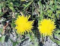 A dandelion may produce 15,000 seeds per year.