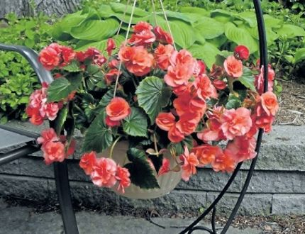 Hang on a little longer to adorn your patio with hanging baskets like this Dragon Wing Begonia.