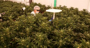Derek Smith takes readings from marijuana plants in the bloom room at ABcann Medicinals Inc. in Napanee in February. The company is in the process of going public to raise investment to fund its expansion. (Elliot Ferguson/The Whig-Standard)