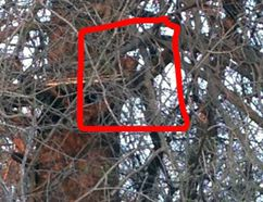 Town of St. Marys staff are investigating a possible cougar or bobcat sighting in a tree near the Canadian Baseball Hall of Fame and Museum. This picture was taken shortly after the incident and posted in the Facebook group called I Love St. Marys - The Town Worth Living. (Facebook photo)