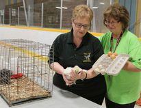 Gaetanne Riopel, a director with the Porcupine District Agricultural Society, left, and Thérèse Chartier, the society's agricultural educator, display some of the props that were brought out during a farm education program for Grade 2 students at Mountjoy Arena last week. Riopel is holding a young silkie chicken, while Chartier is displaying a carton containing silkie chicken eggs and those of standard commercial egg-laying hens.
