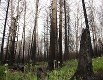 Bright green grass and small plants poke their way to the surface of the forest bed, surrounded by charred trees in Fort McMurray's Abasand neighbourhood, June 8, 2016. Olivia Condon/ Fort McMurray Today/ Postmedia Network