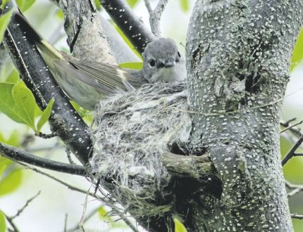 American redstarts are nesting in Point Pelee National Park and across Southwestern Ontario. This female redstart builds a nest last weekend. The female builds the nest at one of the locations proposed by the male. (photo by PAUL NICHOLSON/SPECIAL TO POSTMEDIA NEWS)