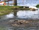 BRUCE BELL/THE INTELLIGENCER Common carp are taking advantage of high water levels in the Bay of Quinte and surrounding waterways to move inland into shallow waters of people's yards for spawning.