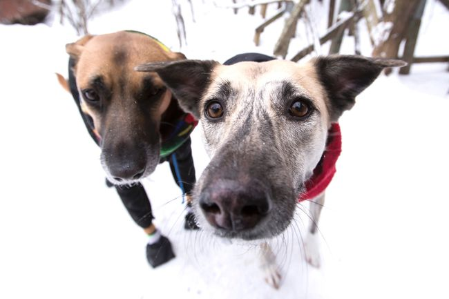 These two dogs are dressed warmly for a winter walk, but many Sudbury residents are outraged that other dog owners leave their pets outside without appropriate shelter or care. (Ian Kucerak/Postmedia Network)