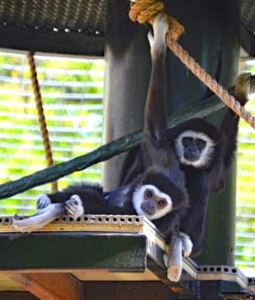 Assiniboine Park Zoo in Winnipeg officially opened its new exhibit for white-handed gibbons on Friday, June 2, 2017. Handout/Assiniboine Park Zoo
