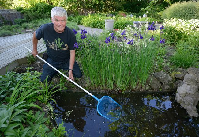 Jeremy McNeil, a Western University professor, checks for mosquito larvae Wednesday in a backyard pond at his west London home. (MORRIS LAMONT, The London Free Press)