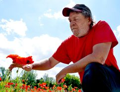Sean Wilson, director of the Remember November 11 Association, reaches for poppies at Remembrance Gardens on River Road. The association is planning an event to remember Second World War veterans June 11. CHRIS MONTANINI\LONDONER\POSTMEDIA NETWORK