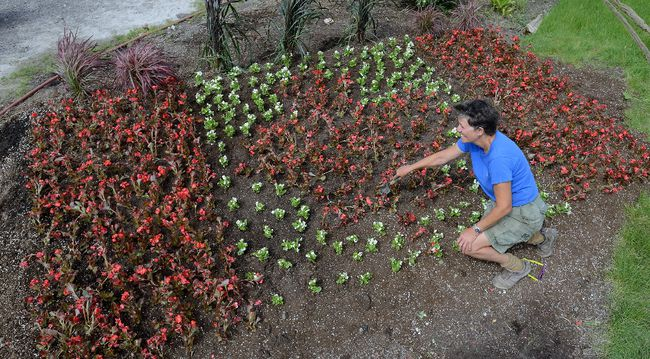 Jacqueline Hering puts the finishing touches on a  garden with a floral Canadian flag for Canada's 150th birthday at Parkway Gardens. (MORRIS LAMONT, The London Free Press)