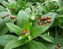 Ladybugs moment after their release. Ladybugs are renowned for their appetite for aphids, insects that can do great damage to plants. In recent years, gardeners and others have become more aware of ladybugs and other beneficial insects. John DeGroot photo