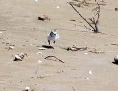 One of the piping plover chicks that hatched this weekend at Sauble Beach. DENIS LANGLOIS/THE SUN TIMES