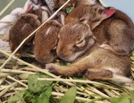 Bunnies rescued from a garbage bin are seen at the Shades of Hope Wildlife Refuge in Pefferlaw. (Supplied)