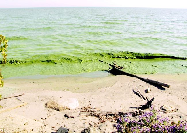 Algae blooms, like this one just east of Palmyra, near Rondeau, are continuing in Lake Erie. (Postmedia file photo)