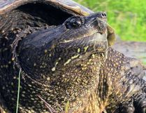 This snapping turtle was relocated away from Memorial Drive, a busy summer roadway along the Goulet Golden Mile beach on North Bay's Lake Nipissing waterfront, Friday. Turtle and human safety issues were cited when the information was posted online. Dave Dale / The Nugget