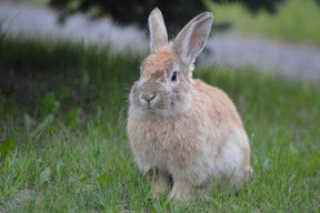 One of the many bunnies that can be found hopping about in a quiet neighbourhood in Garson. (Jim Moodie/Sudbury Star)