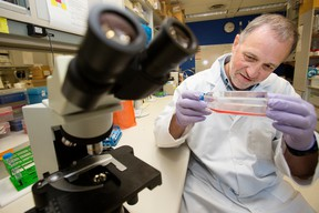 Dr. Dean Befus poses for a photo with a culture of epithelium cells in his lab at the University of Alberta, in Edmonton Monday June 26, 2017. Beaus is a lead researcher on a study finding a link between a salivary gland protein and human stress levels. David Bloom/Postmedia