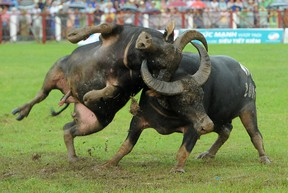 Two buffalos fight during buffalo fighting festival at Do Son stadium on September 21, 2015 in Do Son, Vietnam. Vietnamese devotees have held the buffalo fighting festival annually since the 18th century to honour The God of Water and to pray for safety, prosperity, and good harvest. (Photo by Robertus Pudyanto/Getty Images)