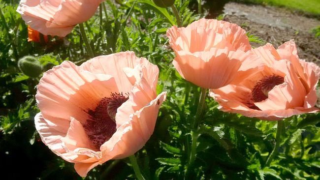 The Oriental poppy can be grown in local perennial gardens. Gardening expert John DeGroot says the easiest way to grow poppies is by directly sowing seeds into the spring garden, about a month before the frost-free date. (John DeGroot photo)