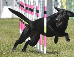 Four-year-old Mystic, a black lab, makes his way through a weave course at the Alberta and Northwest Territories Regional Dog Agility Championships on June 23. Photo by Ed Kaiser/Postmedia Network