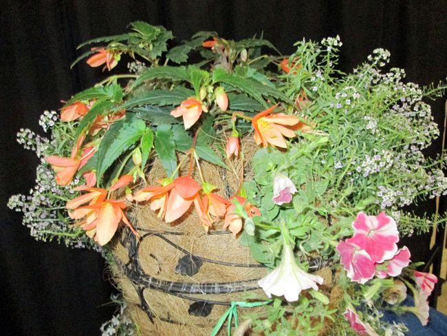 This stunning horticulture entry at the Portage Ex was awarded 1st prize for Kayla Cool  in the hanging basket section. It includes a selection of flowering and/or vining plants at least 12 inches or greater in length.