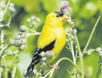 The male American goldfinch is a brilliant bird in the summer sun. This species is one of the last to nest. They delay their breeding activity until the summer because they rely on late-blooming plants with fibrous seeds such as thistles and milkweed to feed their young. (PAUL NICOLSON, Special to Postmedia News)