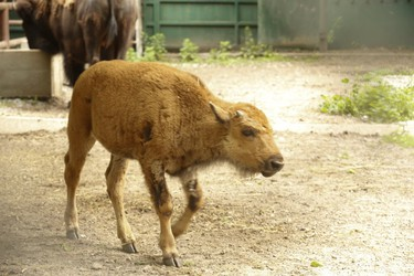 An adult make Bison and calf could be seen inside their High Park zoo enclosure and pavilion. An adult female named Alberta passed away on Saturday. Zoo officials would not comment on the adult's passing Sunday July 16, 2017. (Jack Boland/Toronto Sun)