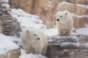 (Left to right) Newly-named male polar bear cubs York and Eli are shown at Winnipeg's Assiniboine Park Zoo in a handout photo. The zoo says York refers to York Factory First Nation, which has traditional lands that include important polar bear denning habitats. Eli is in honour of an elder from the First Nation that lived and hunted in the area between the Nelson and Hayes Rivers. It was announced on Sunday, July 16, 2017 that Eli had passed away. THE CANADIAN PRESS/HO-Assiniboine Zoo