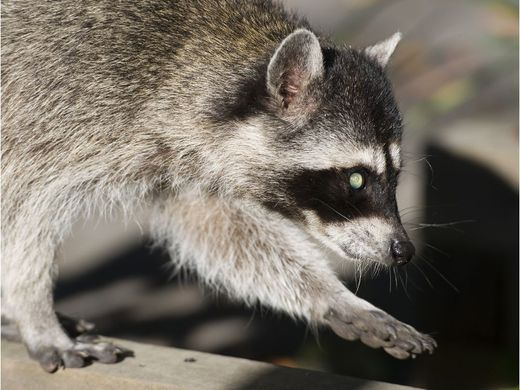 Man Kills Raccoon With Hammer After It Bites Him On Head
