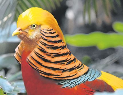 Golden pheasants are among the most visually striking birds in the world. Since they are native to China, they are also known as Chinese pheasants. (MATT DUVER/SPECIAL TO POSTMEDIA NEWS)