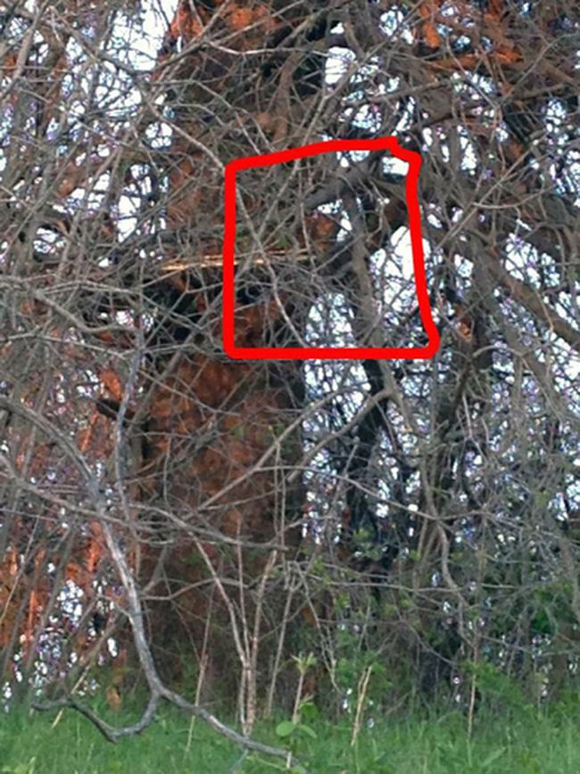 This photo, purporting to show a cougar or bobcat in a tree near the Canadian Baseball Hall of Fame and Museum in St. Marys, Ont., was posted in May to a Facebook group called I Love St. Marys — The Town Worth Living.