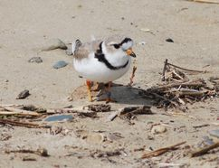 An adult piping plover earlier this summer. DENIS LANGLOIS/THE SUN TIMES