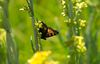 In this Tuesday, July 25, 2017 photo, one of the various types of butterflies that inhabit the Lower Carpenter Valley lands on a plant near Truckee, Calif. The wild Sierra Nevada meadow hidden from public view for more than a century is opening for tours after it was purchased by conservation groups. (AP Photo/Rich Pedroncelli)