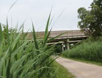 Phragmites pictured along the Howard Watson Nature Trail between Exmouth Street and Michigan Avenue. The section of trail is scheduled to close Monday as contractors apply pesticides to eradicate the invasive reeds. (Tyler Kula/Sarnia Observer/Postmedia Network)