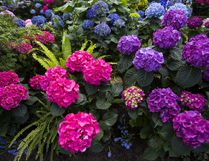 The Hydrangea does not require a lot of care but does provide long periods of beauty in your garden. (Julie Jocsak/Postmedia News)