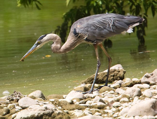 An adult great blue heron snaps up a tiny crayfish along the Thames River in London, Ont. on Monday July 18, 2016. Mike Hensen/The London Free Press/Postmedia Network