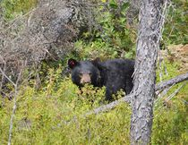 The female cub, distinguished by her red ear tags, forages for berries and insects after being liberated from the cage. (Jim Moodie/Sudbury Star)