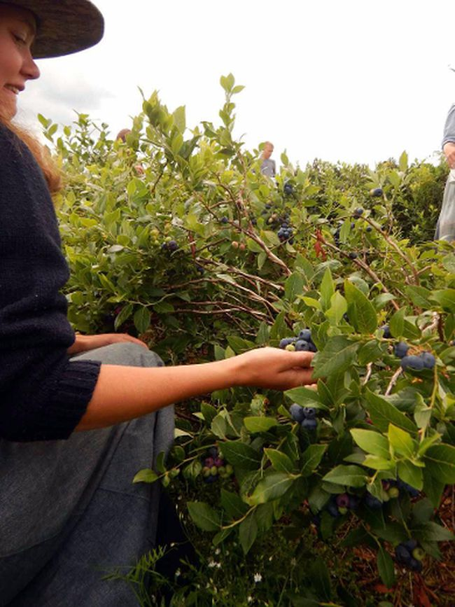 Berry pickers say they have seen bigger crops, but this year's blueberries are bountiful.
